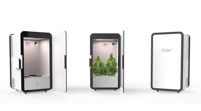 leaf-cannabis